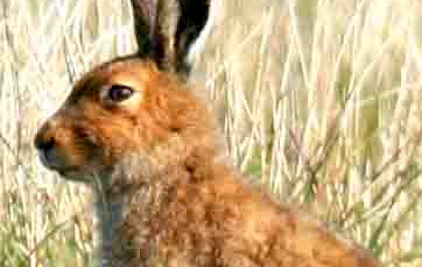 Mountain Hare: John Clare